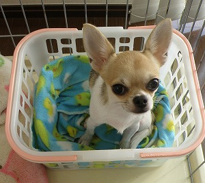 我が家の愛犬メルシー♪